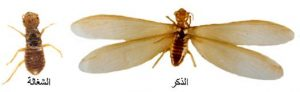 مكافحة النمل الابيض بالدمام